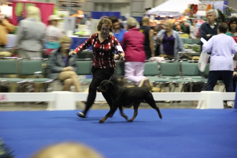 Summer at the Rottweiler Breed Judging for the AKC Owner Handler Series 2013 Inaugural Event